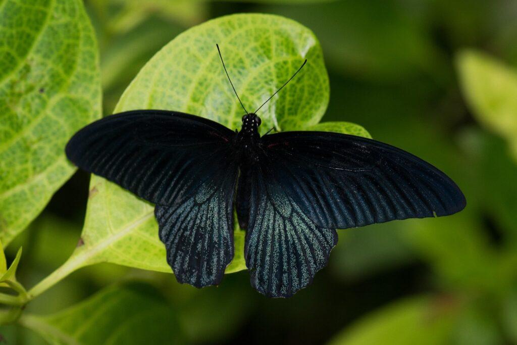 Chanson papillon noir