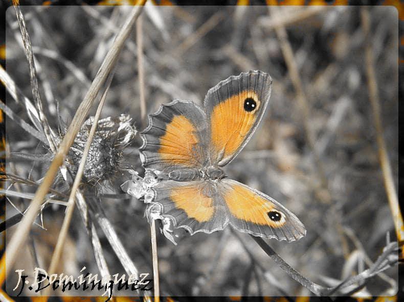 Papillon Agreste