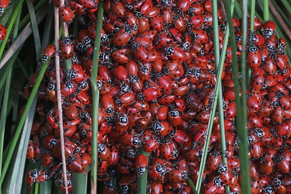 Pouvoirs ladybug essaim