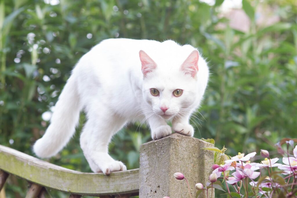 Chat Blanc Miraculous