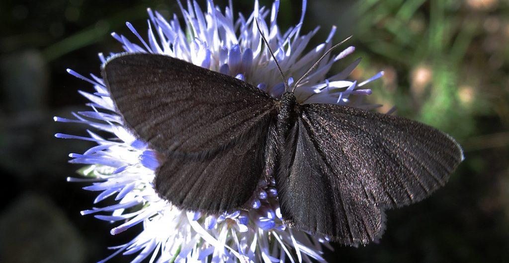 papillon miraculous